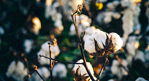 cotton-1.jpg
